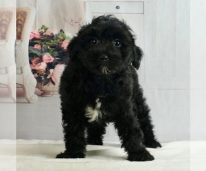 Maltipoo Litter for sale in WARSAW, IN, USA