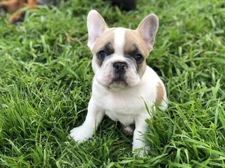 French Bulldog Puppy For Sale in DALLAS, TX, USA