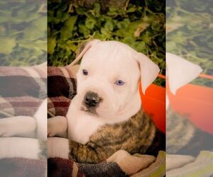 American Bulldog Litter for sale in CLARINDA, IA, USA