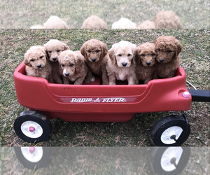 Goldendoodle Litter for sale in BOWLING GREEN, KY, USA