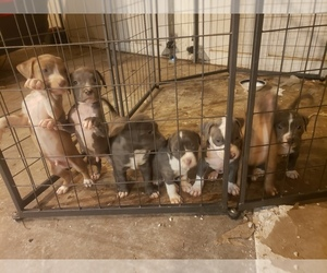 American Pit Bull Terrier Litter for sale in POWDER SPGS, GA, USA