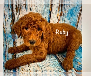 Labradoodle Litter for sale in SHELL KNOB, MO, USA