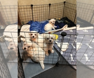 Maltese Litter for sale in LAKELAND, FL, USA