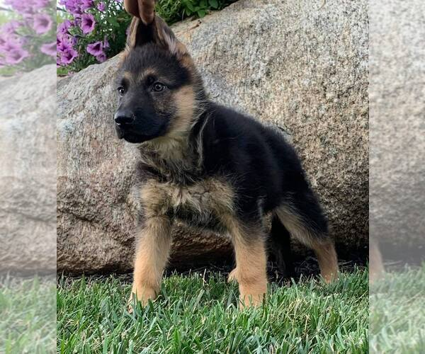 Medium Photo #1 German Shepherd Dog Puppy For Sale in NAPPANEE, IN, USA
