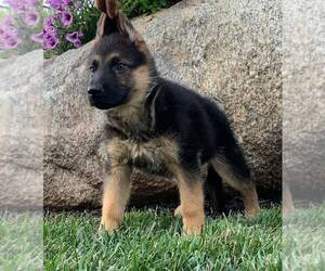 German Shepherd Dog Litter for sale in NAPPANEE, IN, USA