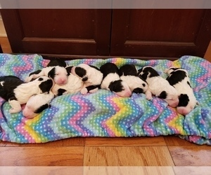Sheepadoodle Litter for sale in TAMPA, FL, USA