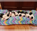 Sheepadoodle Puppy For Sale in TAMPA, FL, USA