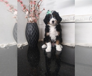 Bernedoodle-Poodle (Miniature) Mix Litter for sale in SHIPSHEWANA, IN, USA