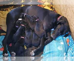 Great Dane Litter for sale in FREDERICKTOWN, PA, USA