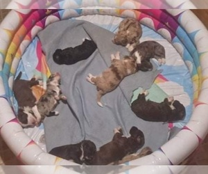 Aussiedoodle Litter for sale in LITHIA, FL, USA