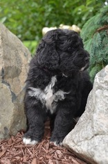 Bernedoodle Puppy For Sale near 43402, Bowling Green, OH, USA