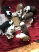 Australian Shepherd Puppy For Sale in DONOVAN, IL, USA