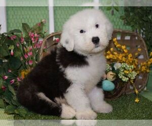 Old English Sheepdog Litter for sale in HUTCHINSON, KS, USA