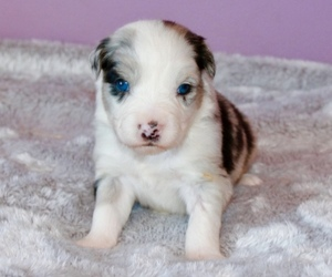 Australian Shepherd Litter for sale in STACY, MN, USA