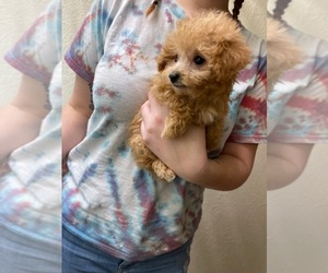 Poodle (Toy) Litter for sale in FRIENDSHIP, NC, USA