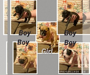 French Bulldog Litter for sale in PALM BAY, FL, USA