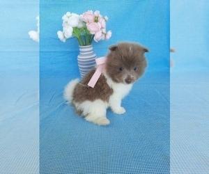 Pomeranian Litter for sale in SHIPSHEWANA, IN, USA