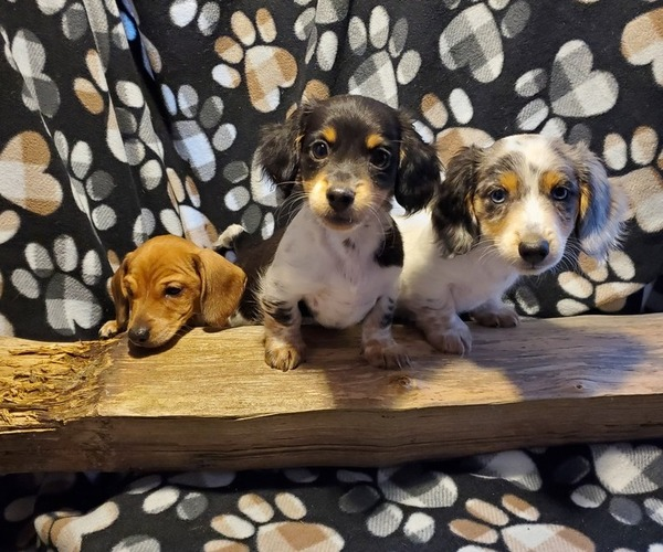 Medium Photo #1 Dachshund Puppy For Sale in CEDAR RAPIDS, IA, USA