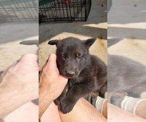 German Shepherd Dog Litter for sale in WINCHESTER, VA, USA