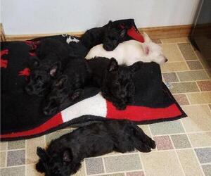 Scottish Terrier Litter for sale in LAKE SHORE, MD, USA