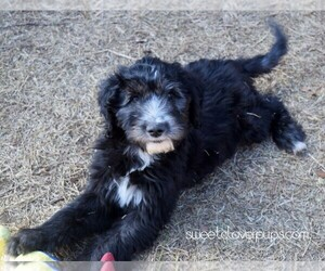 Sheepadoodle Litter for sale in DUNCAN, OK, USA