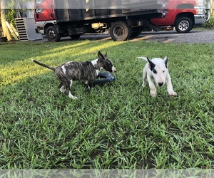 Bull Terrier Litter for sale in NAPLES, FL, USA
