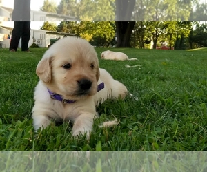 Golden Retriever Litter for sale in MYERSTOWN, PA, USA