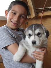 Alaskan Malamute-Great Pyrenees Mix Puppy For Sale in RENO, NV, USA