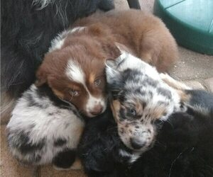 Australian Shepherd Litter for sale in BURNSVILLE, MN, USA