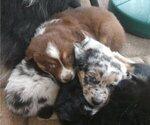 Australian Shepherd Puppy For Sale in BURNSVILLE, MN, USA