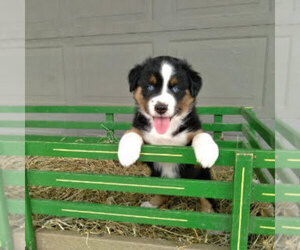 Australian Shepherd Litter for sale in BRIDGEWATER, VA, USA