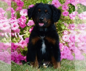 Medium Bernese Mountain Dog-Poodle (Toy) Mix