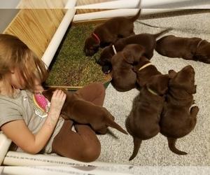 Labrador Retriever Litter for sale in HOLLY, MI, USA