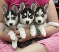 Alaskan Klee Kai Puppy For Sale in SEBRING, FL, USA