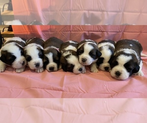 Saint Bernard Litter for sale in LE MARS, IA, USA