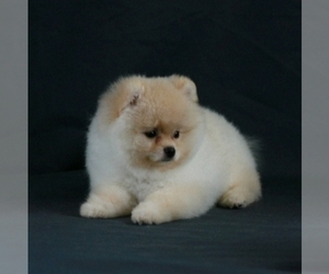 Pomeranian Litter for sale in BROOKLYN, NY, USA