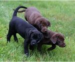 Labrador Retriever Puppy For Sale in STONE LAKE, WI, USA
