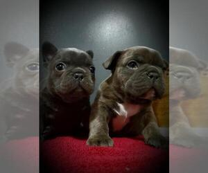 French Bulldog Litter for sale in BELLVILLE, OH, USA