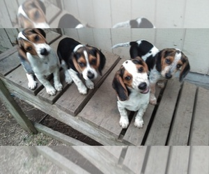 Beagle Litter for sale in POUGHQUAG, NY, USA