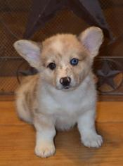Aussie-Corgi Litter for sale in SANGER, TX, USA