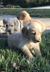 Labradoodle Puppy For Sale in BOONE, IN, USA