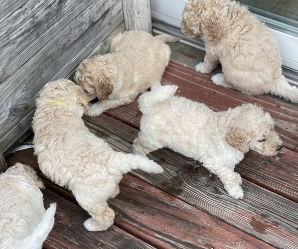 Medium Photo #1 Goldendoodle-Poodle (Standard) Mix Puppy For Sale in CLINTON TOWNSHIP, MI, USA