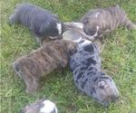 Bulldog Puppy For Sale in GLENDALE, AZ, USA