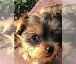 Poodle (Toy)-Yorkshire Terrier Mix Puppy For Sale in SEYMOUR, IN, USA