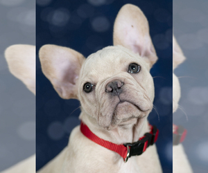 French Bulldog Litter for sale in NAPLES, FL, USA