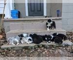Australian Shepherd Puppy For Sale in LEXINGTON, NC, USA