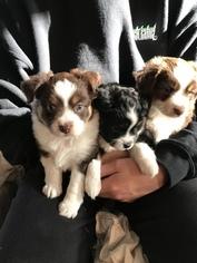 Australian Shepherd Puppy For Sale in LIVERMORE, CA, USA