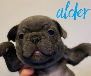 French Bulldog Litter for sale in SOMERS, MT, USA