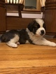 Saint Bernard Puppy For Sale in HARCOURT, IA, USA