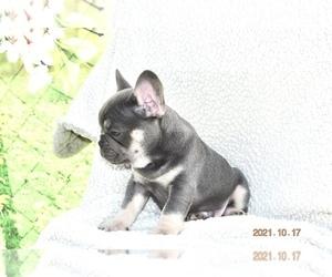 French Bulldog Litter for sale in SEBRING, FL, USA